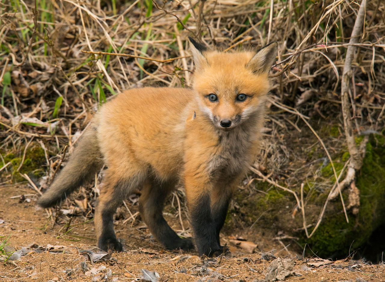 Red Fox Kits 001