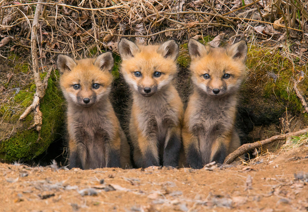 Red Fox Kits 003