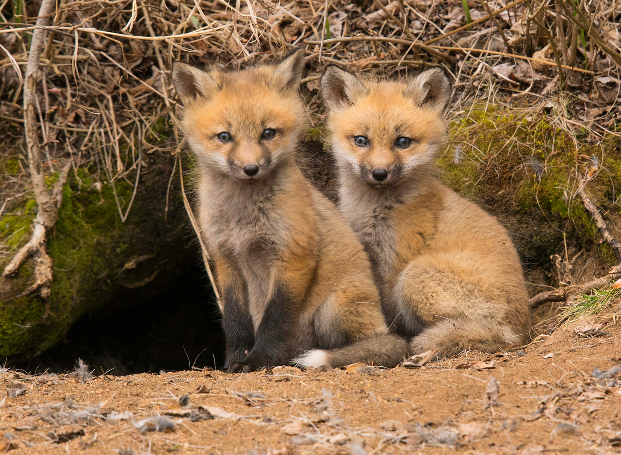 Red Fox Kits 002