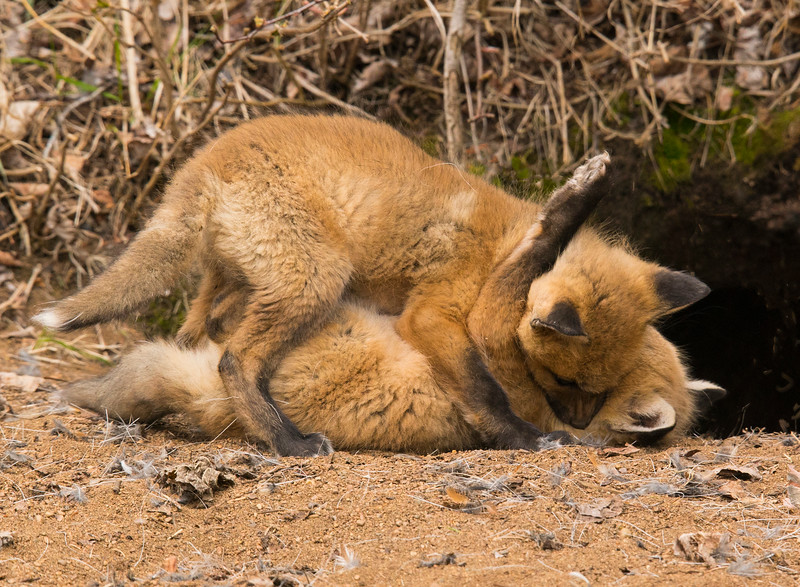 Red Fox Kits 006