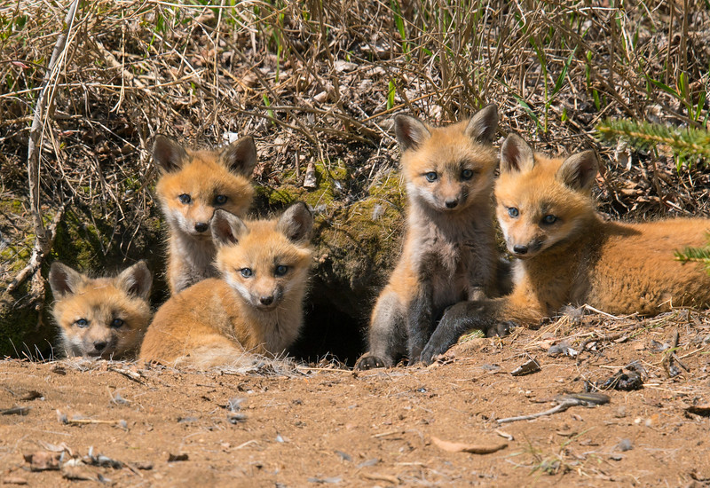 Red Fox Kits 005