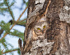 Northern Saw-whet Owl 005