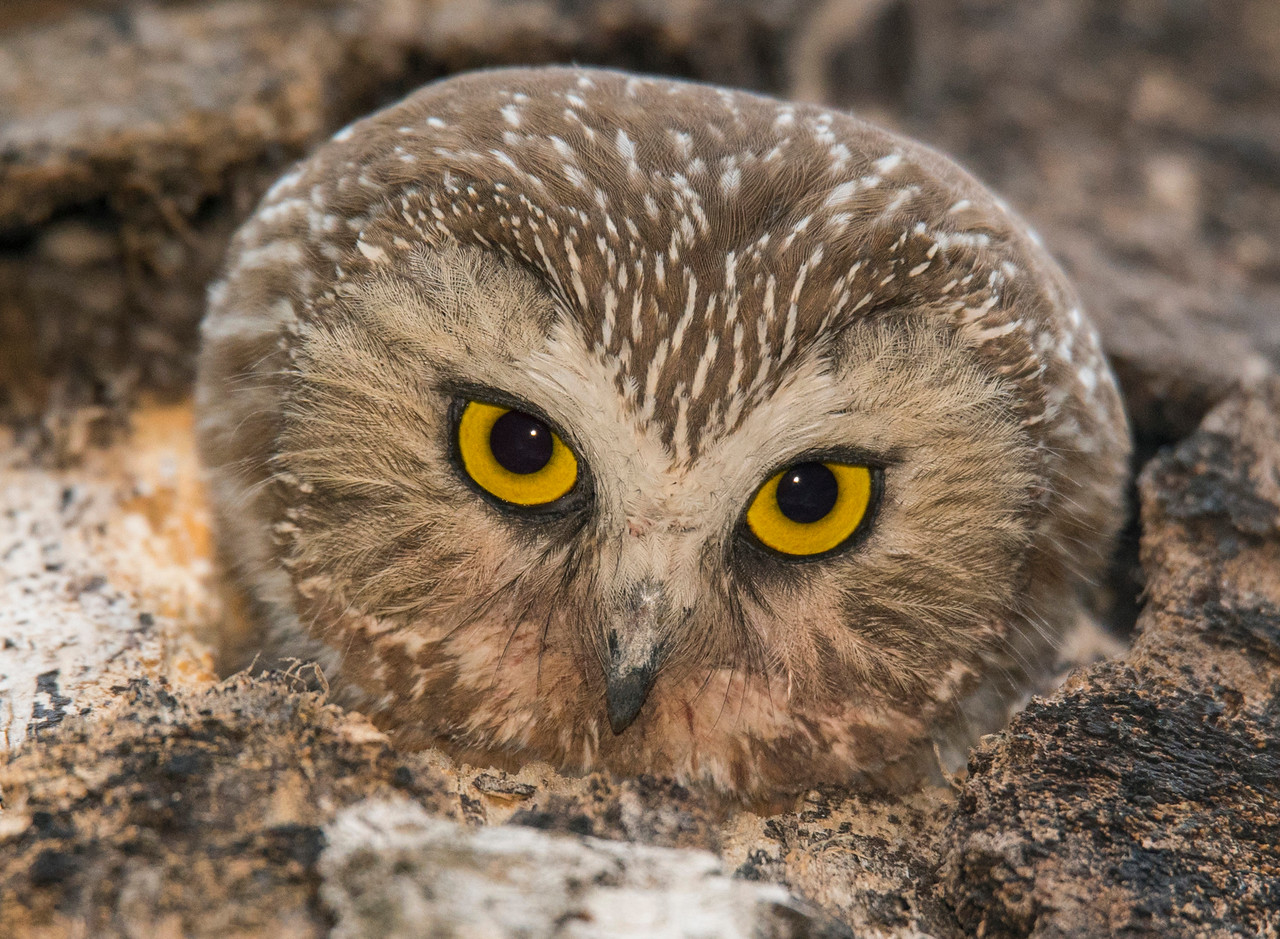 Northern Saw-whet Owl 006