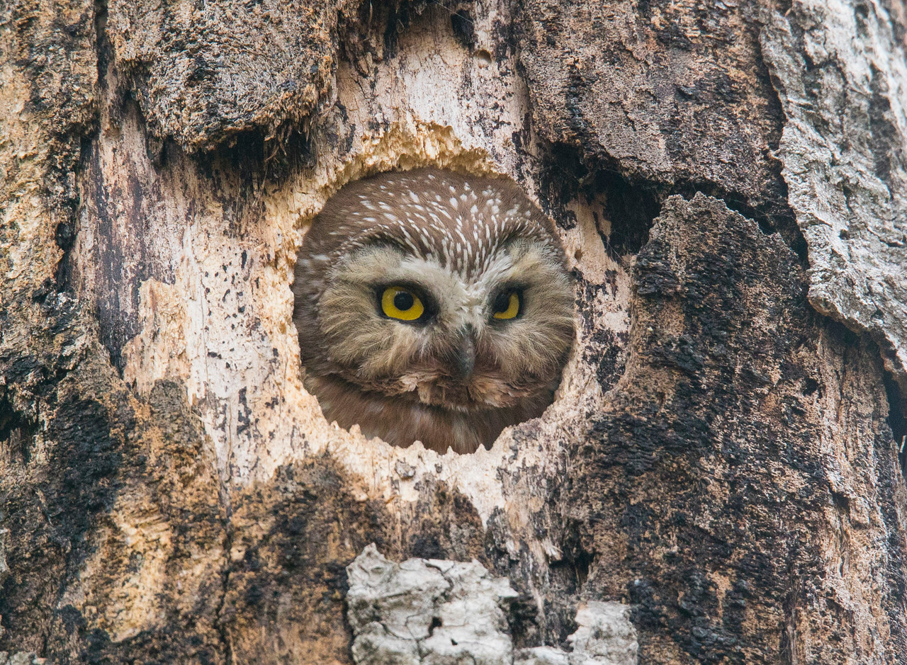 Northern Saw-whet Owl 003