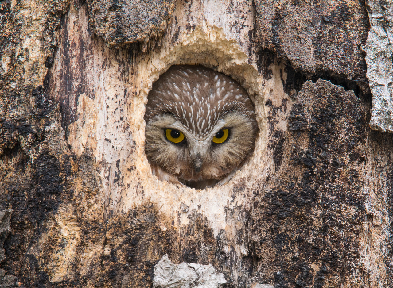 Northern Saw-whet Owl 002