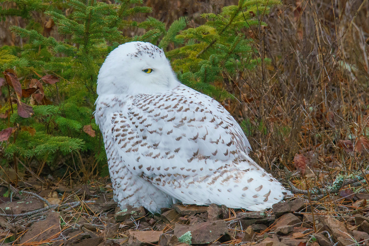 Snowy Owl 002