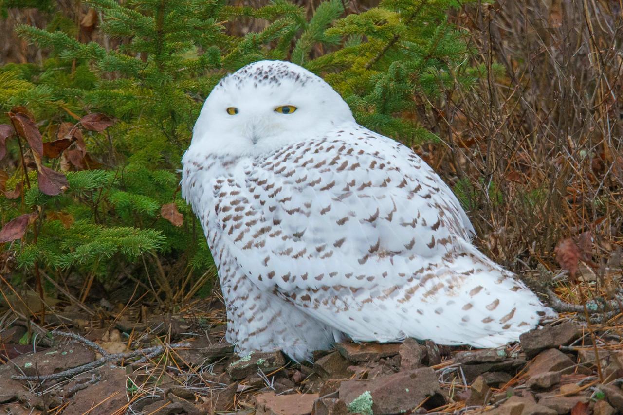 Snowy Owl 001