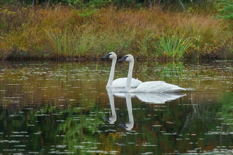 Trumpeter Swans 001