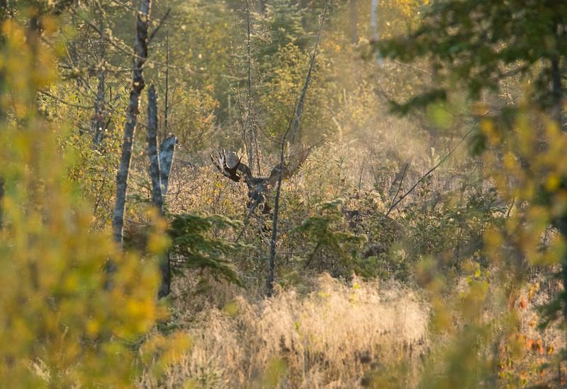 Moose Calling 006