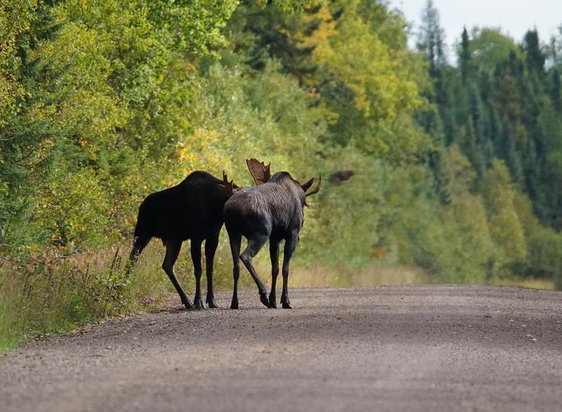 Fighting Bull Moose 001