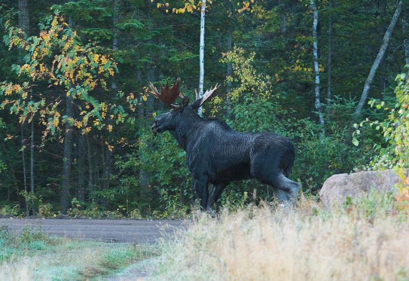 Moose Calling 004