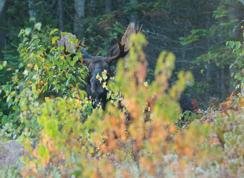 Moose Calling 002