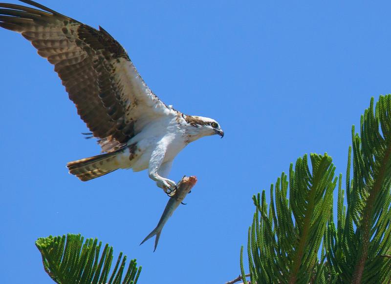 Osprey Nest 003