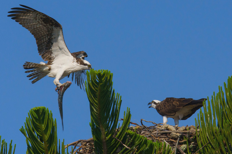 Osprey Nest 004