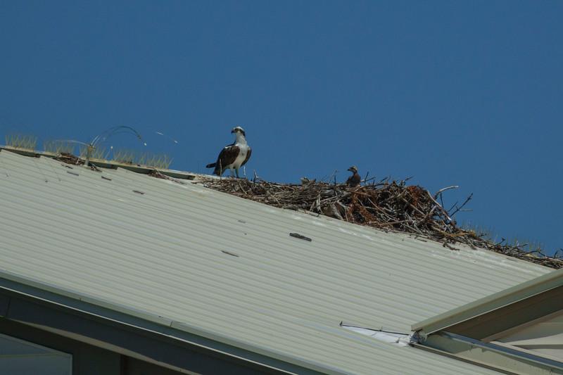 Osprey Nest 005