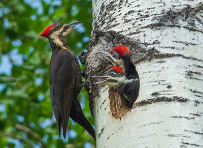 Pileated Woodpeckers 001