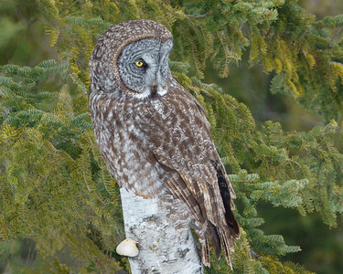 Great Grey Owl 002