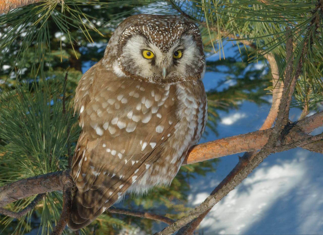 Boreal Owl 001