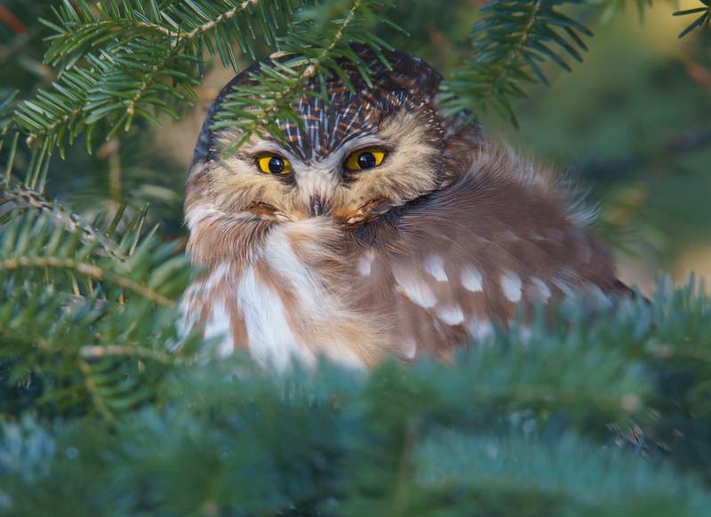 Saw-whet Owl 001