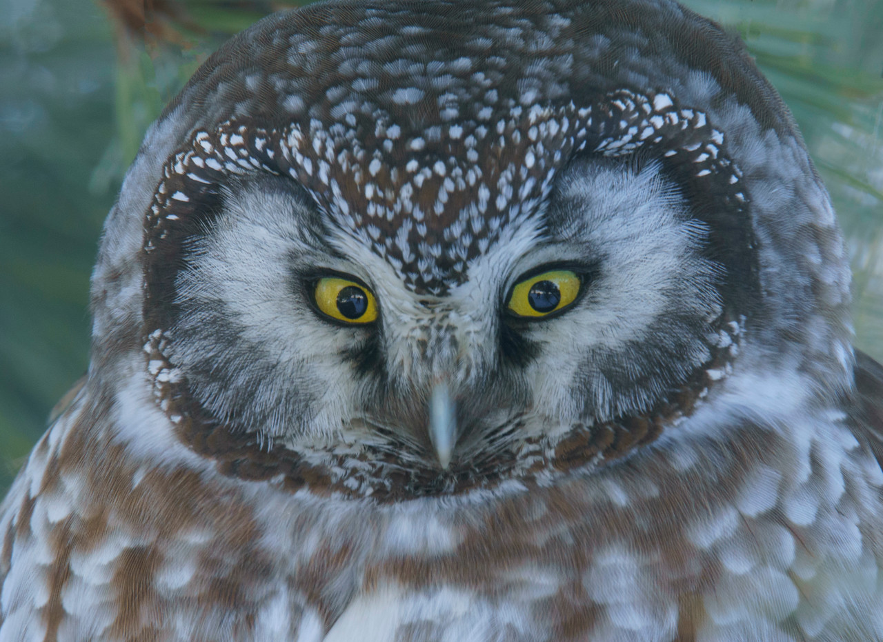 Boreal Owl 003