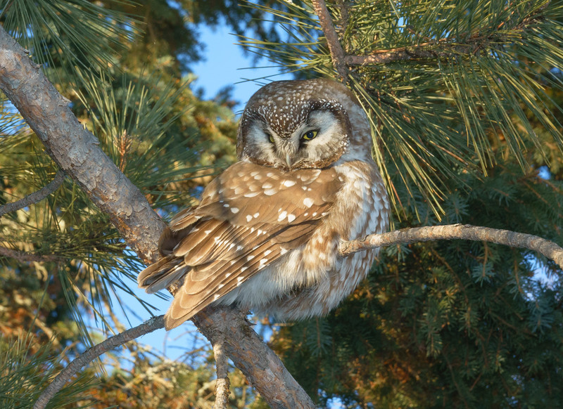 Boreal Owl 002