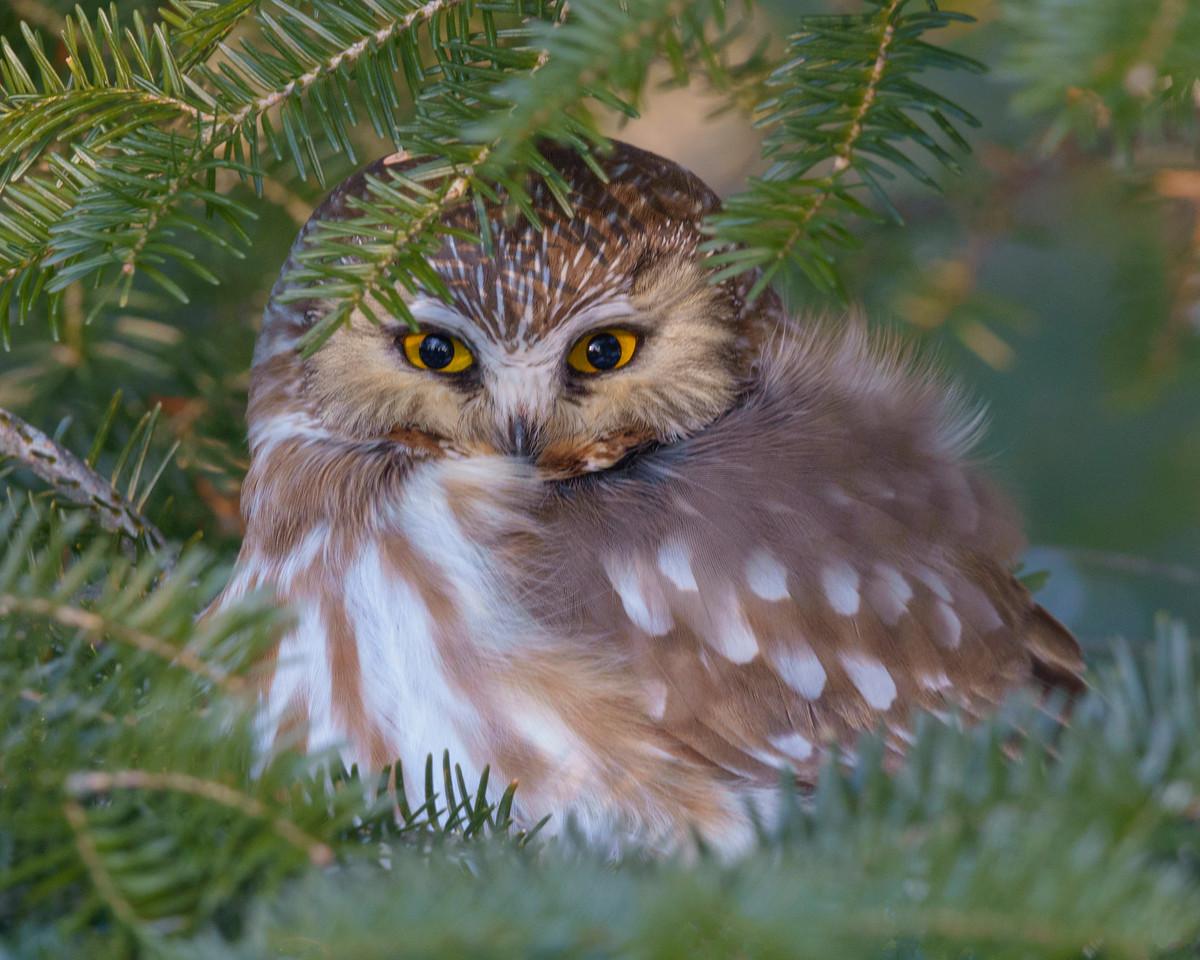 Saw-whet Owl 003