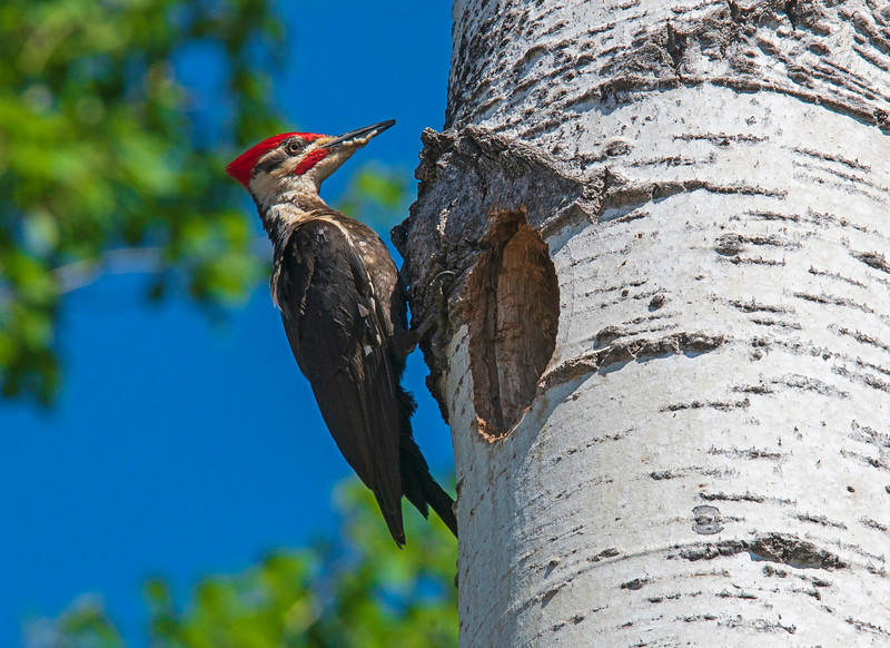 Pileated Woodpeckers 005