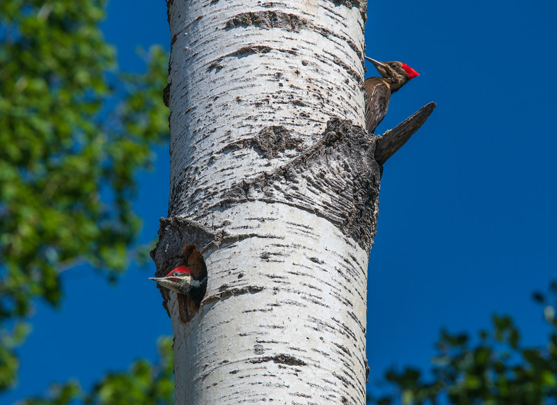 Pileated Woodpeckers 007