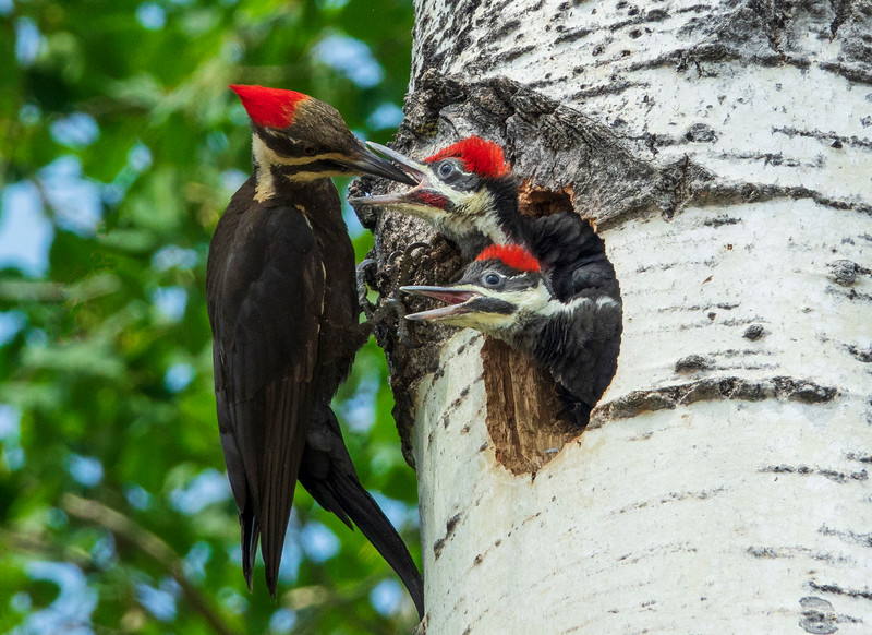 Pileated Woodpeckers 002