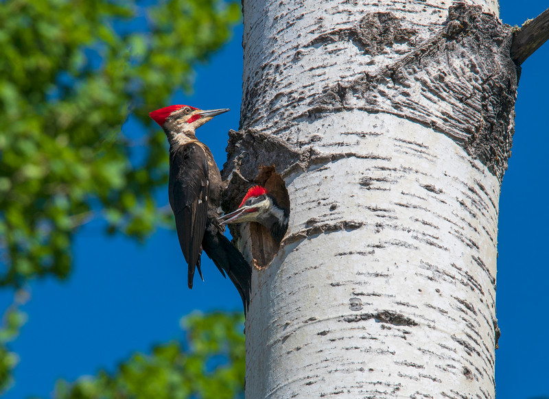 Pileated Woodpeckers 006