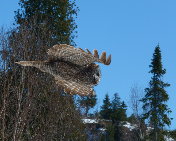 Great Gray Owl 005