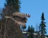 Great Grey Owl 005
