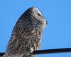 Great Grey Owl 003