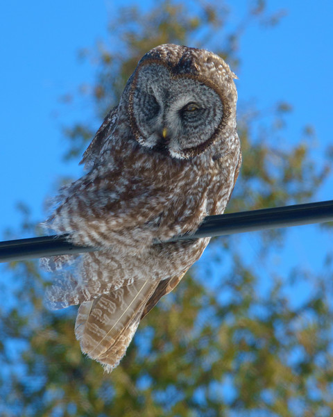Great Gray Owl 004
