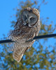 Great Grey Owl 004