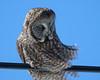 Great Grey Owl 002
