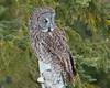 Great Grey Owl 007