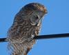 Great Grey Owl 001