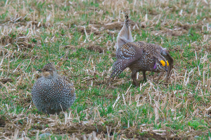 Sharp-tailed Grouse 004