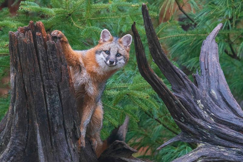 Gray Fox 008