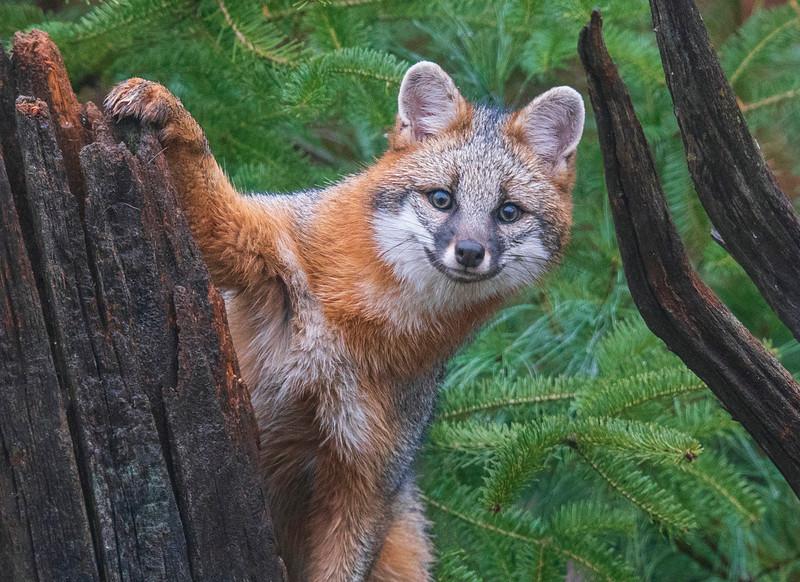 Gray Fox 009