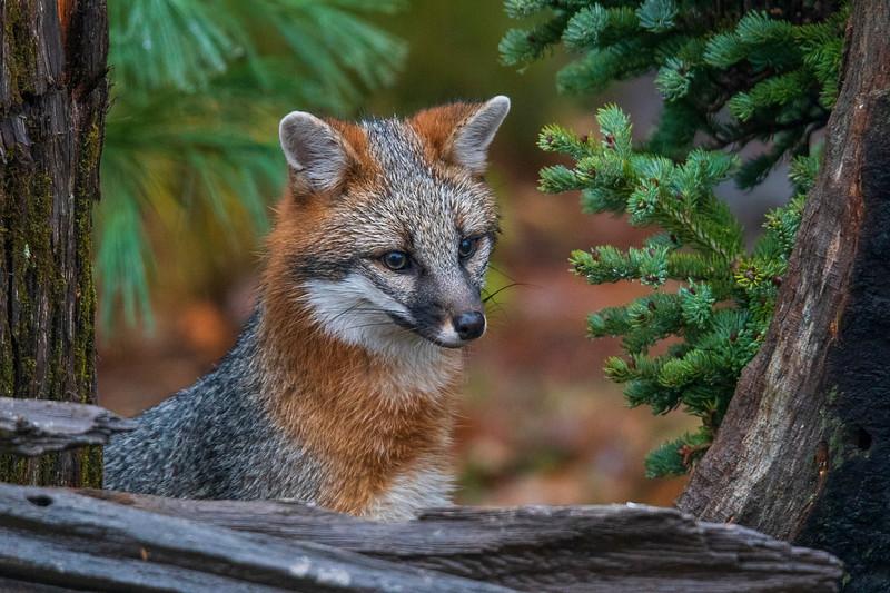 Gray Fox 003