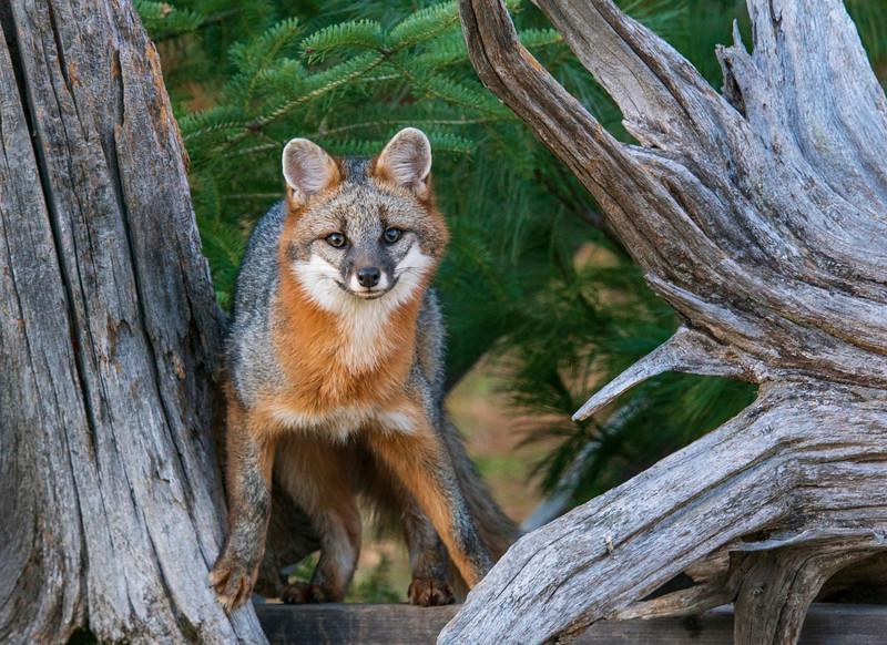 Gray Fox 006