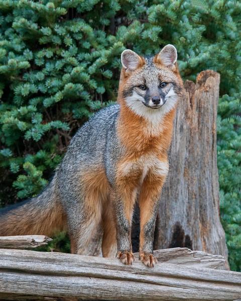 Gray Fox 005