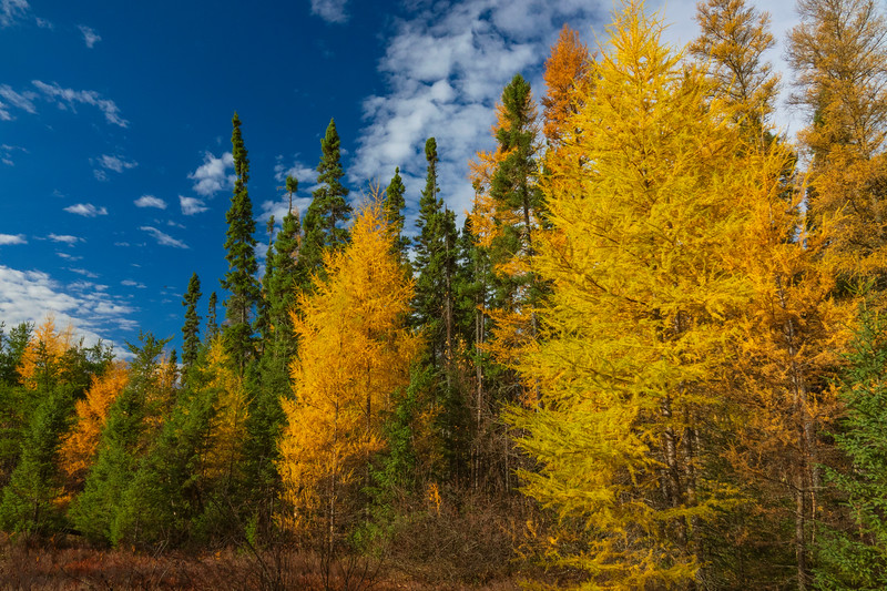 Golden Tamaracks