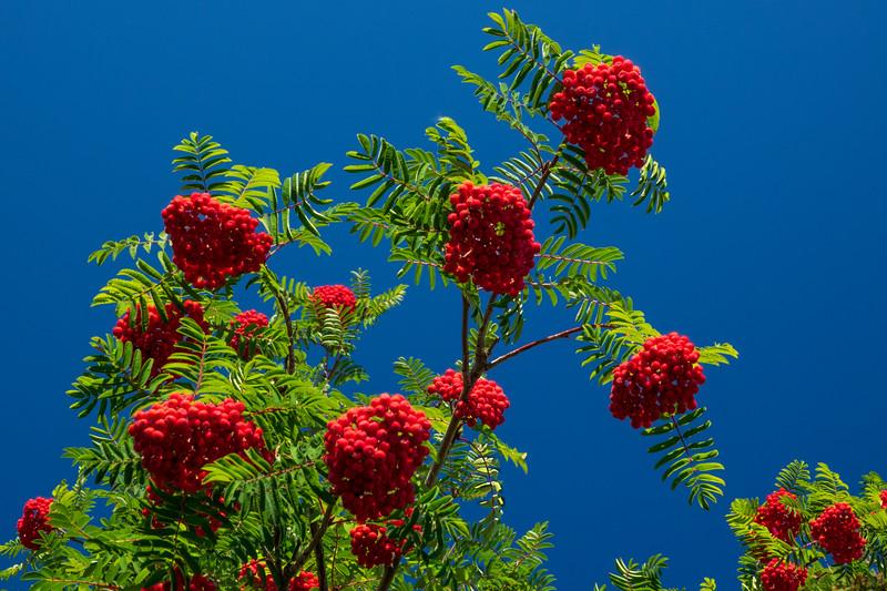Mountain Ash Berries 001