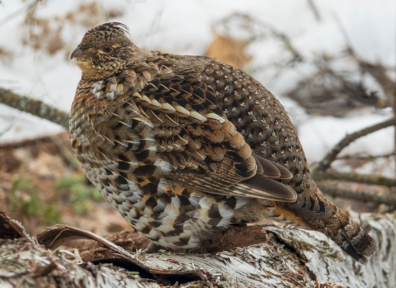 Ruffed Grouse 002