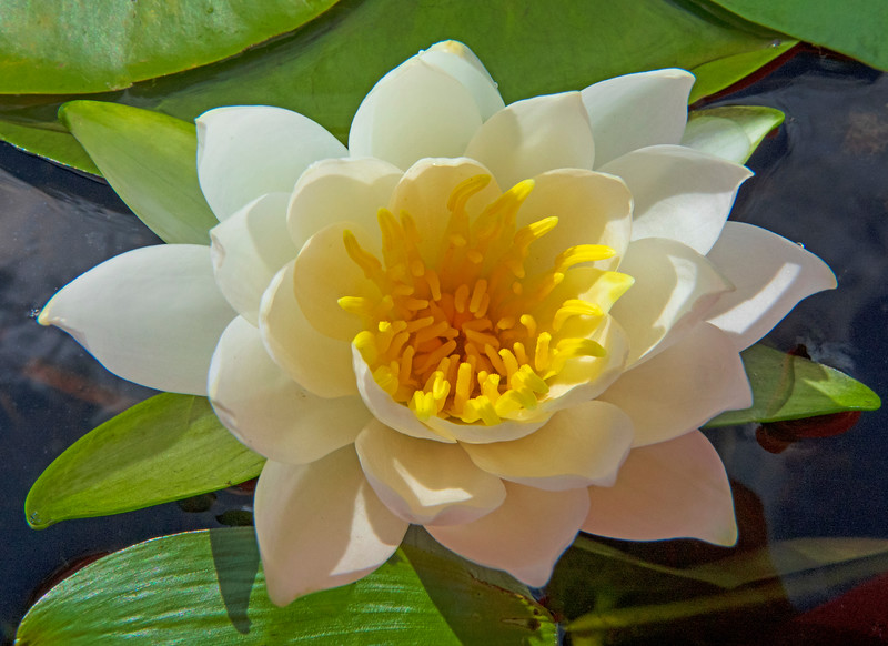 Fragrant Water Lily 003