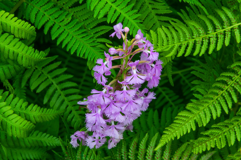 Purple Fringed Orchid 003