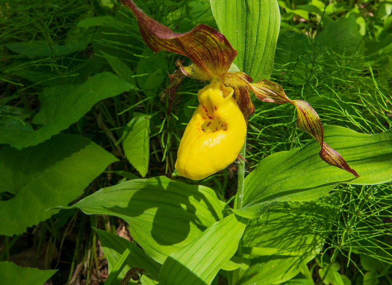 Yellow Lady's-slipper 003